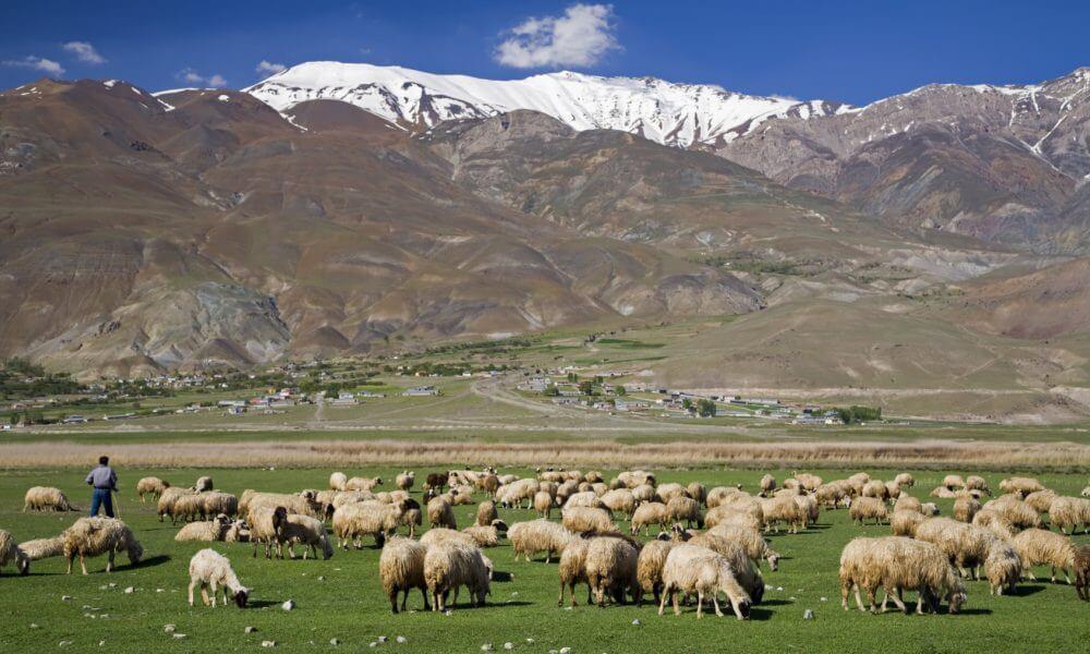トルコにて。放牧された羊たち。